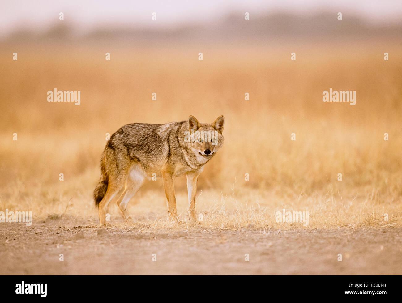Adulte, mâle Golden Jackal a également appelé le chacal, Indiennes (Canis aureus indicus), Velavadar National Park, Gujerat, en Inde Banque D'Images