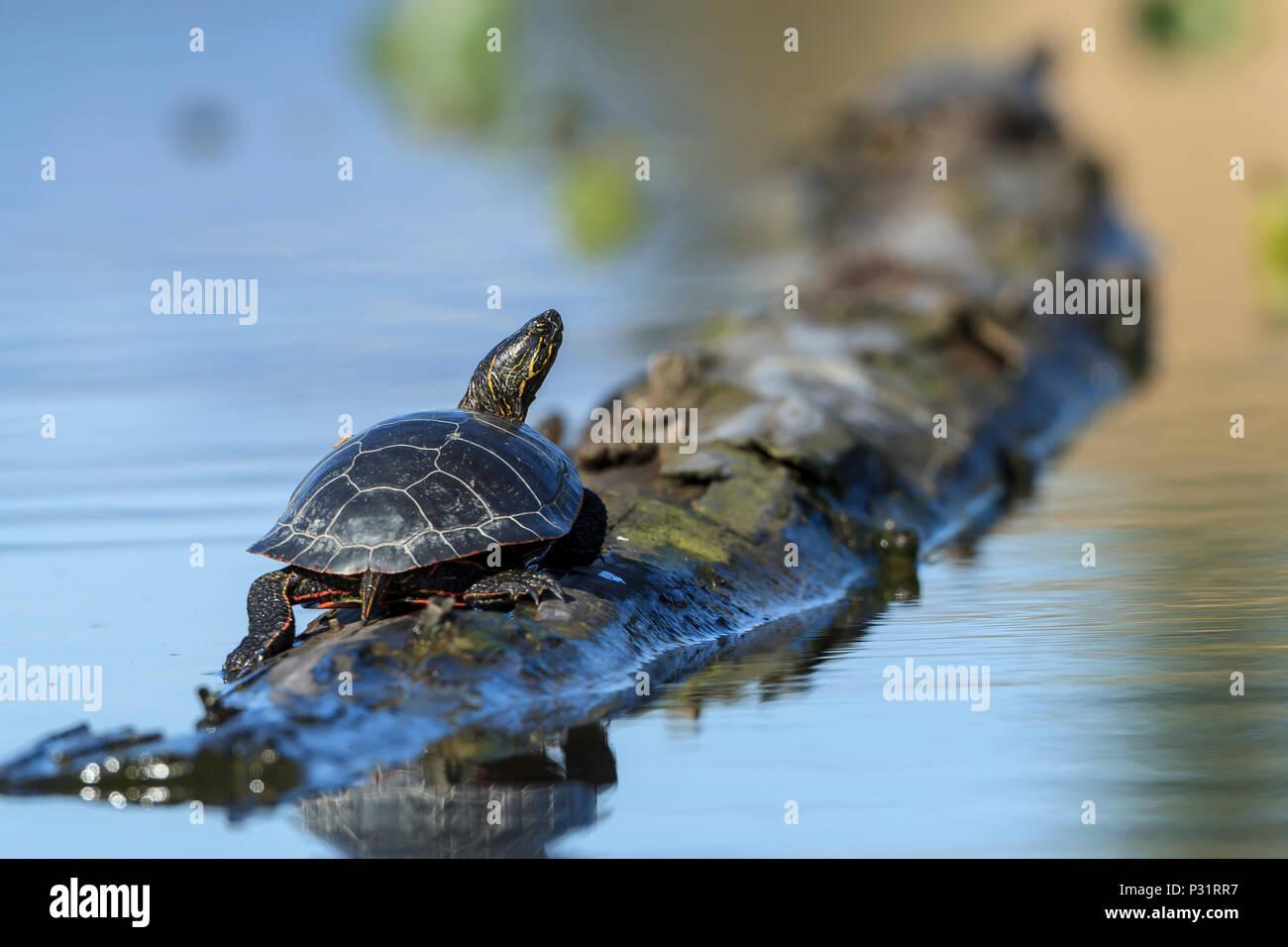 Une Amérique tortue peinte (Chrysemys picta) baigne dans le soleil sur un log sur Fernan Lake dans l'Idaho. Photo Stock