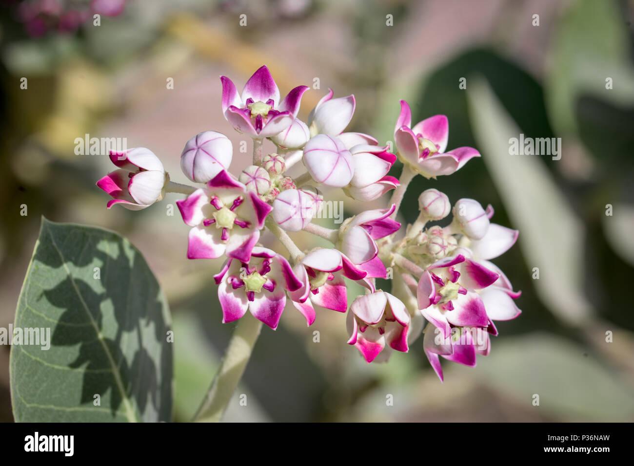 Rose Couleur Lavande Et Fleurs De La Couronne Banque D Images Photo