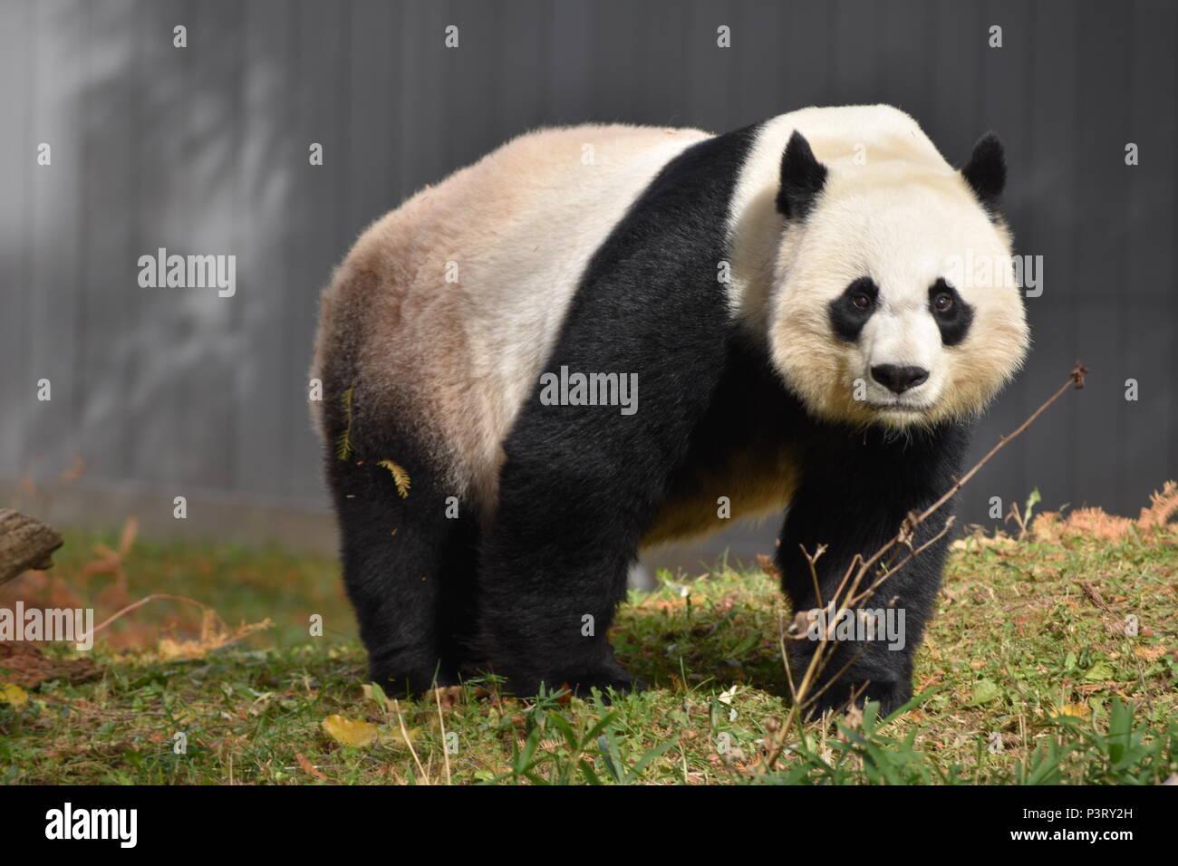 Profitant de l'ensoleillement Automne Panda Photo Stock