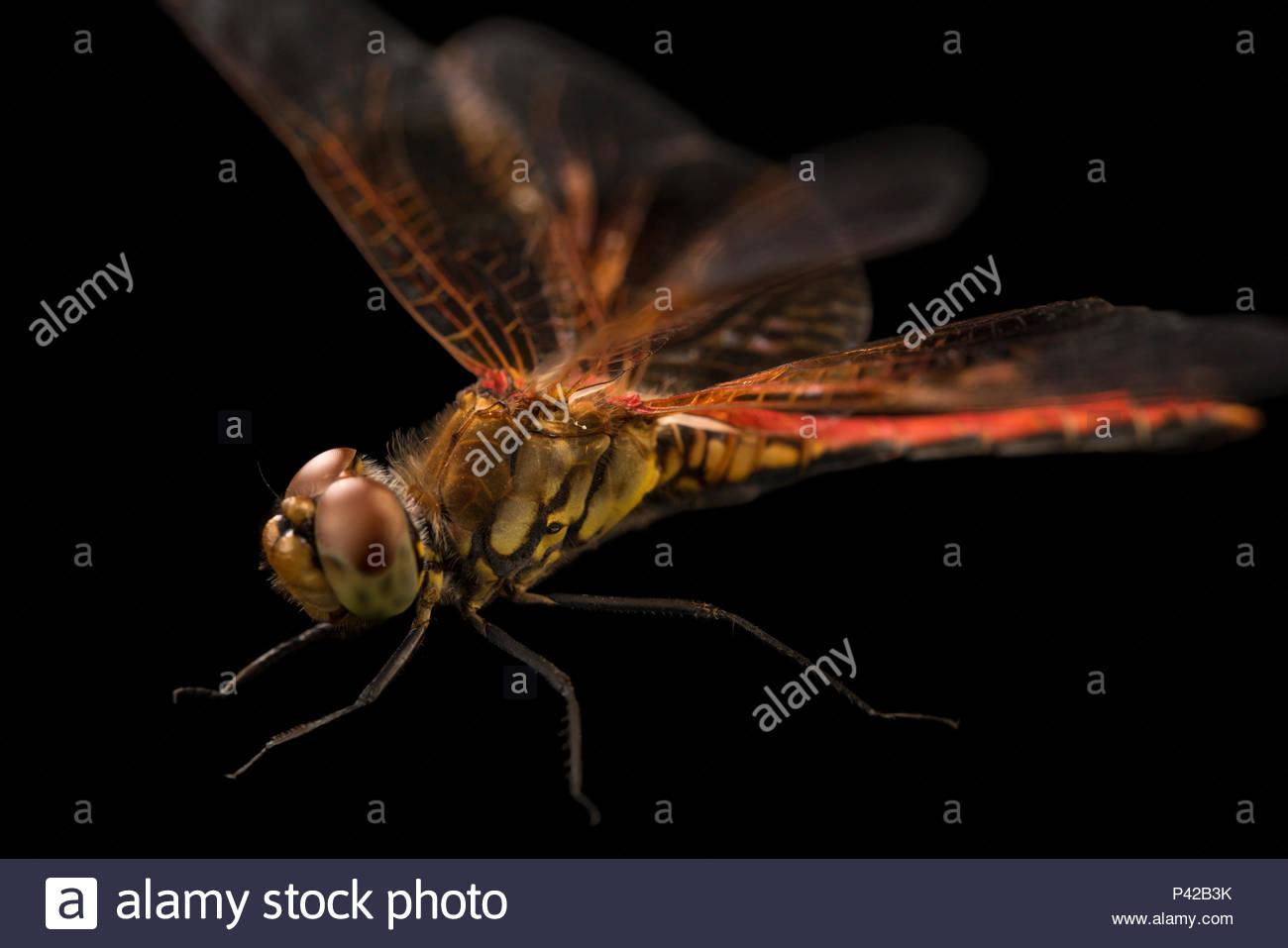 Skimmer libellule Sympetrum, occidentale, à la Station biologique de Cedar Point. Photo Stock