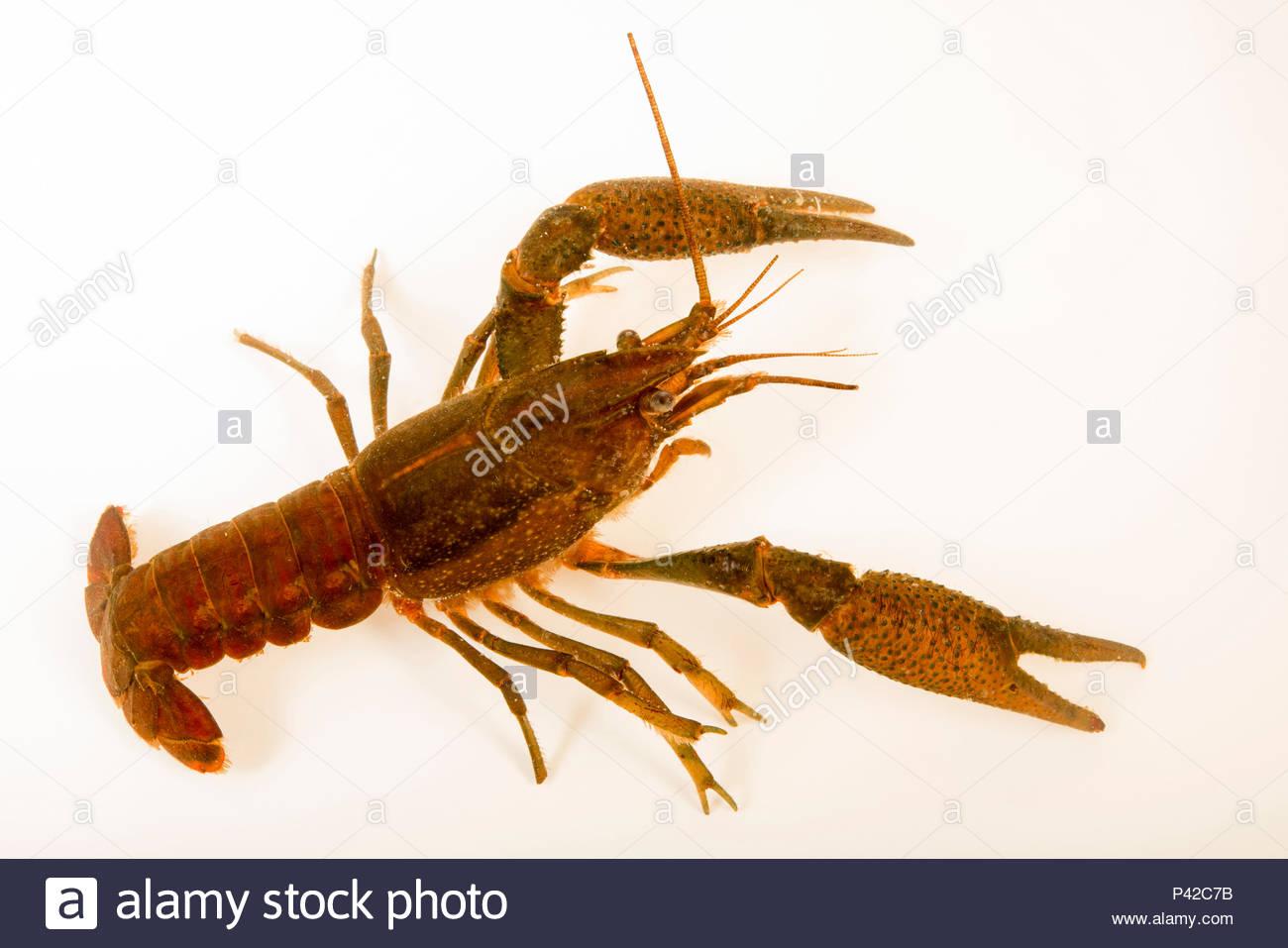 Les écrevisses trompeur, Procambarus fallax, recueillis à Beecher Springs Run, un flux sur les terrains de National Welaka écloserie. Banque D'Images