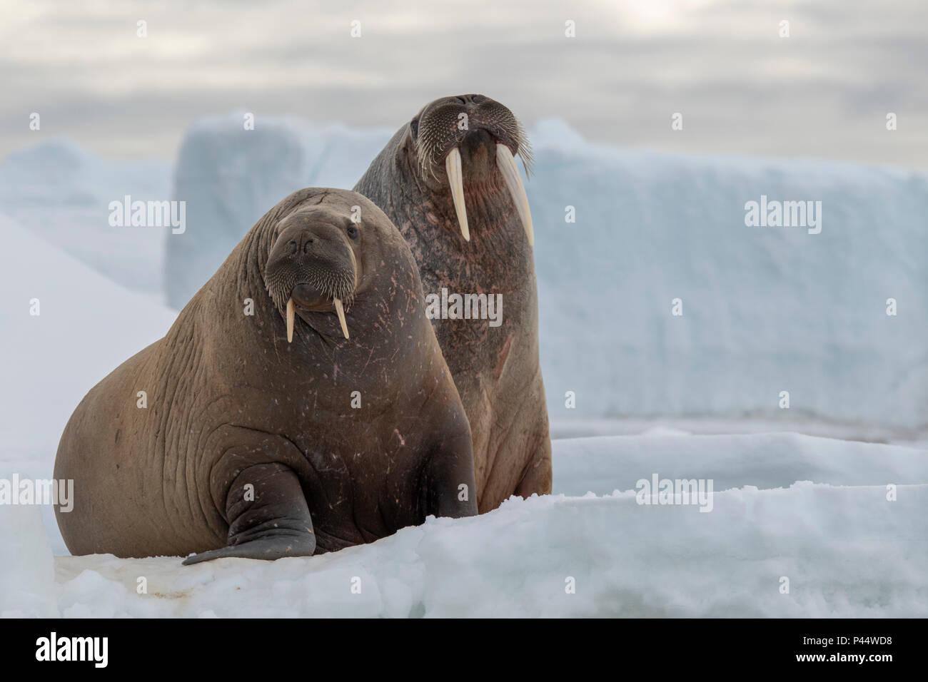 La Norvège, Svalbard, Nordaustlandet, Austfonna. Le morse (Odobenus rosmarus) avec Austfonna Ice Cap dans la distance. Photo Stock