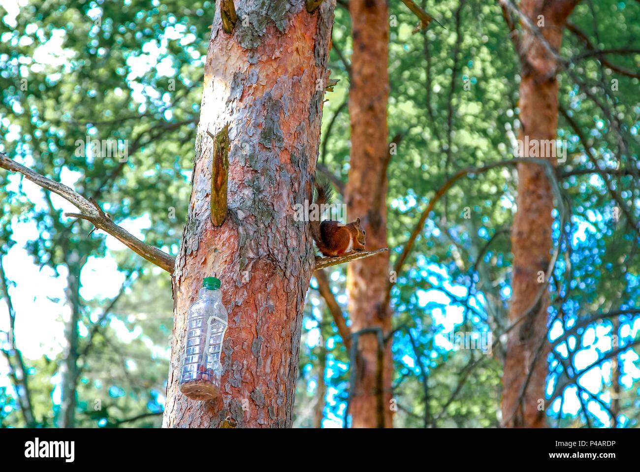 L'écureuil roux Sciurus vulgaris , assis sur un arbre à côté de la mangeoire Photo Stock