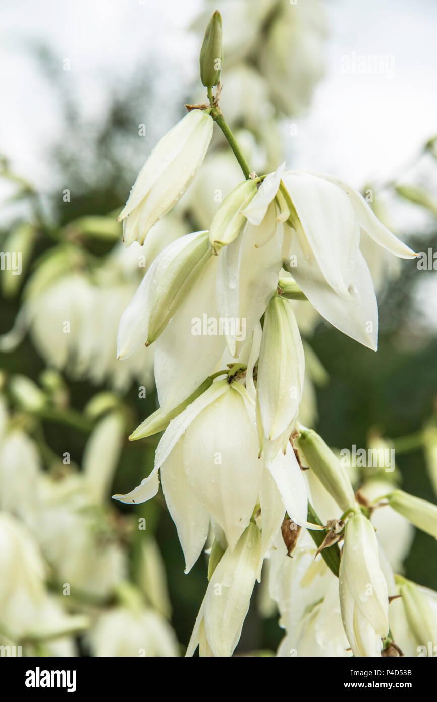 Fleurs de mon jardin en mai 2018. (Yucca filamentosa, Pélargonium ...