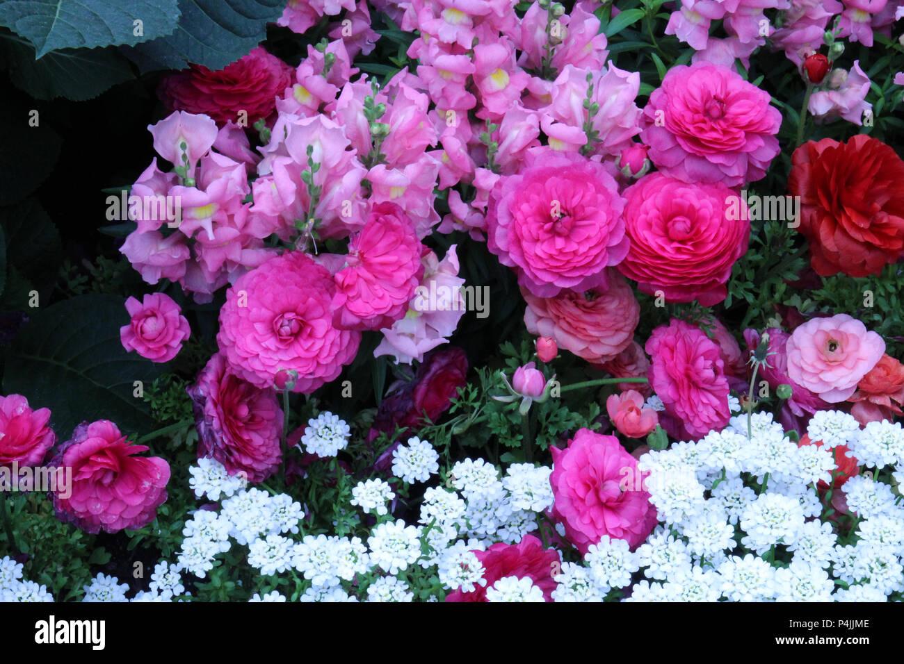 Un lit de fleur rempli de rose, de pêche et de mufliers roses renoncules, rouge et blanc fleurs Thlaspi Banque D'Images