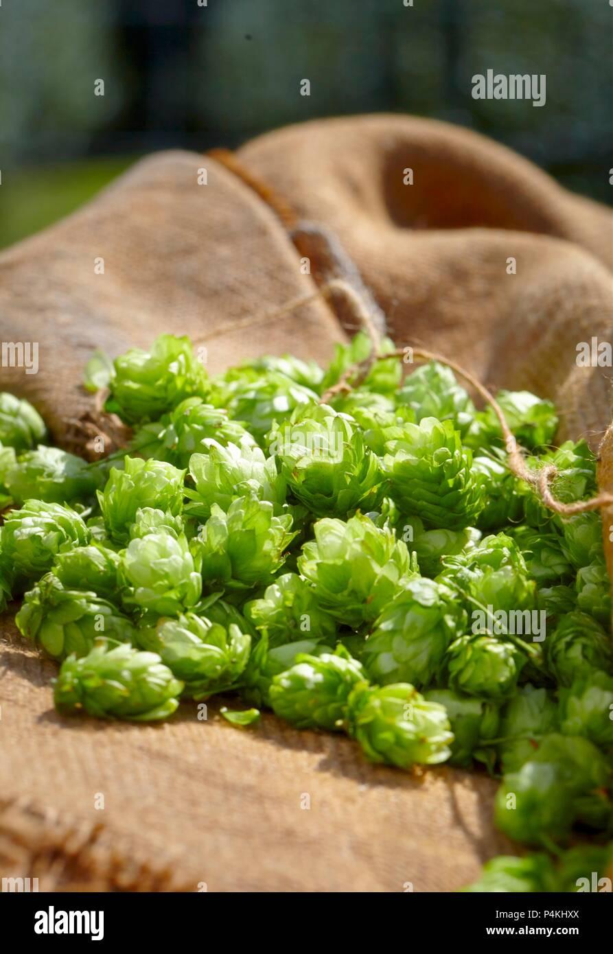 Houblon frais sur un sac de jute Photo Stock