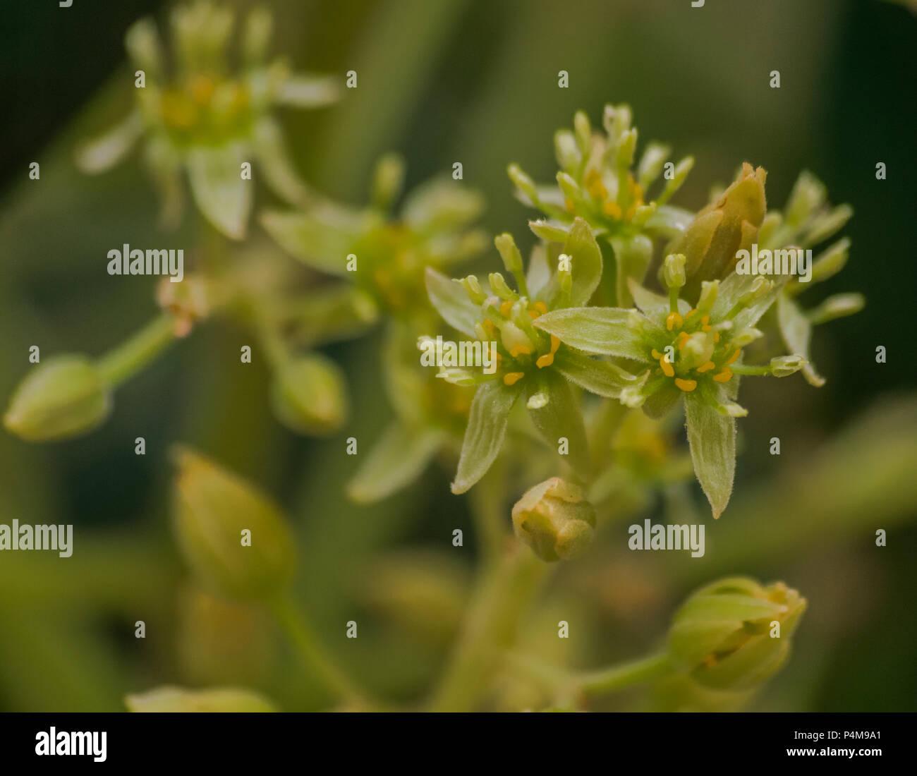 Fleur D Avocat Fermer La Vue Persea Americana Banque D Images
