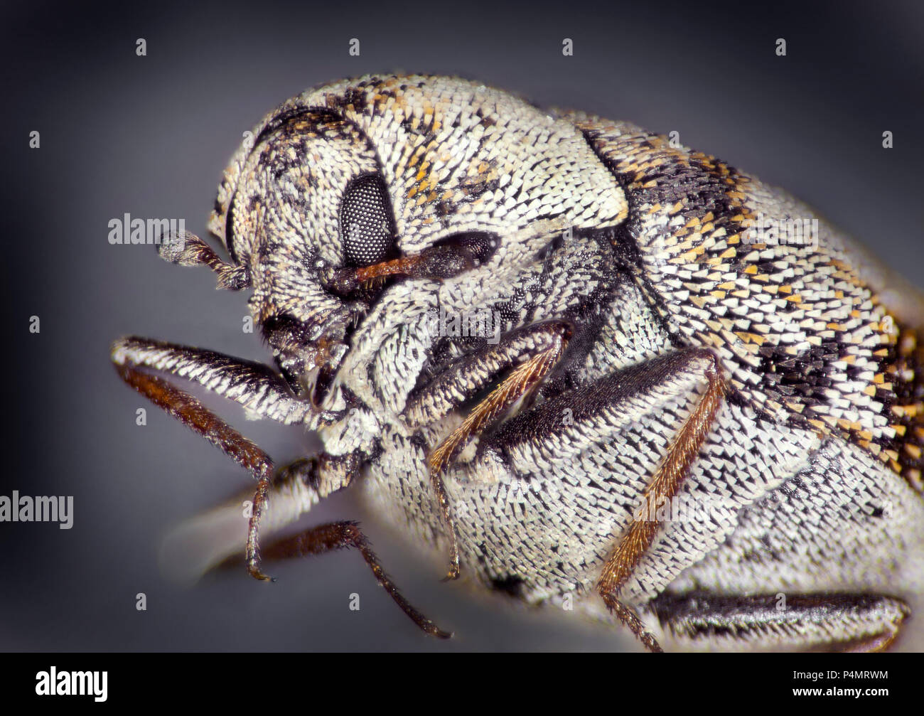 Les anthrènes varié (Anthrenus verbasci) macro portrait Photo Stock