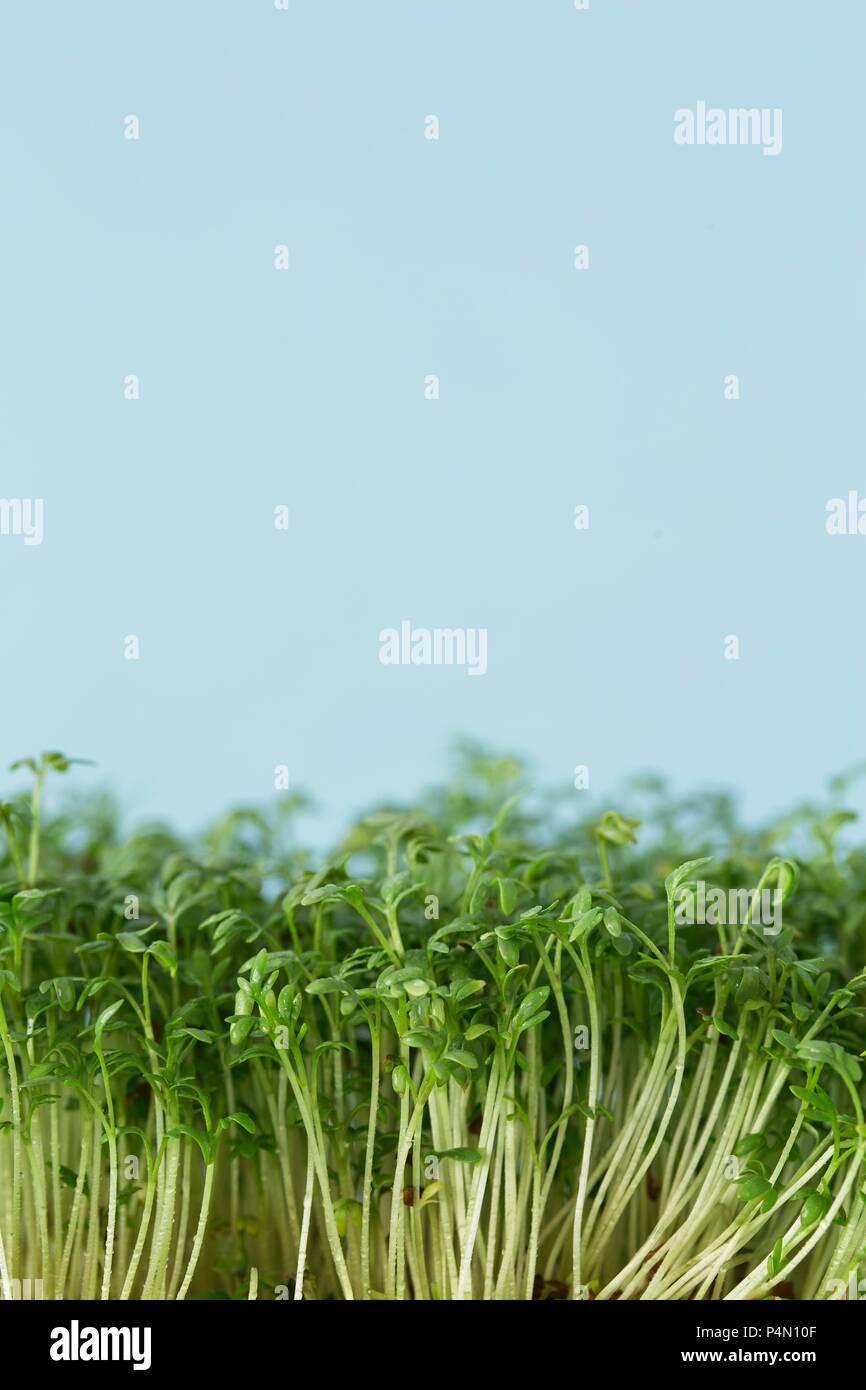Le cresson frais (close-up) Photo Stock