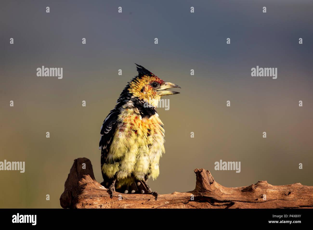 Trachyphonus vaillantii Crested Barbet perché sur un journal de profil avec le projet de loi partiellement ouverts Photo Stock