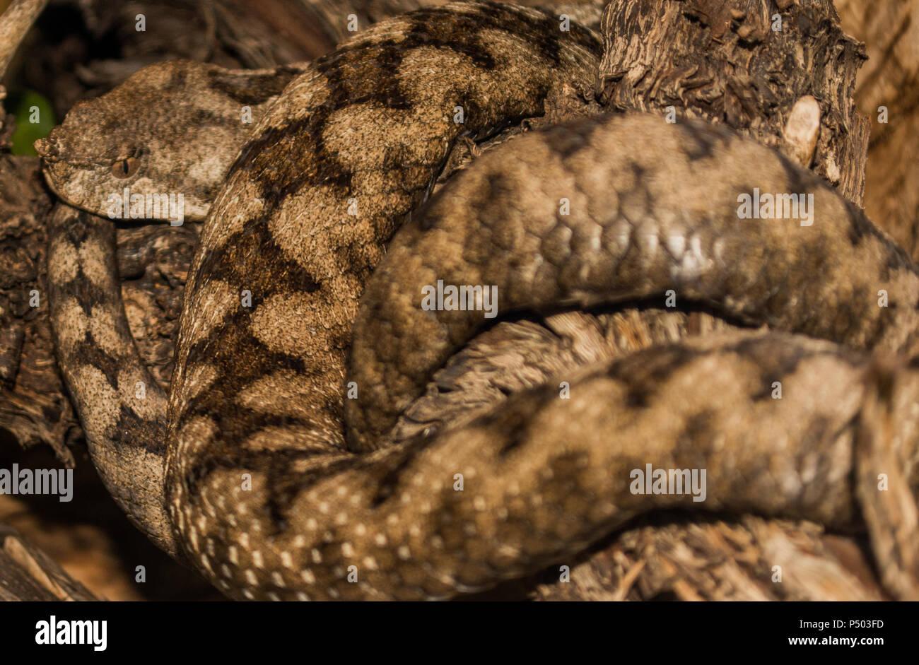 Horn nez serpent viper Banque D'Images