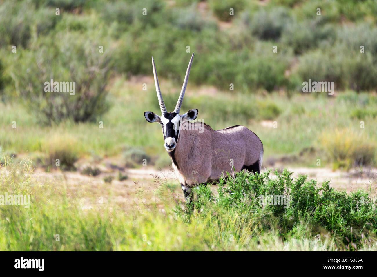 Gemsbok, Oryx gazella au Kalahari, désert vert après la saison des pluies. Kgalagadi Transfrontier Park, Afrique du Sud safari de faune Banque D'Images