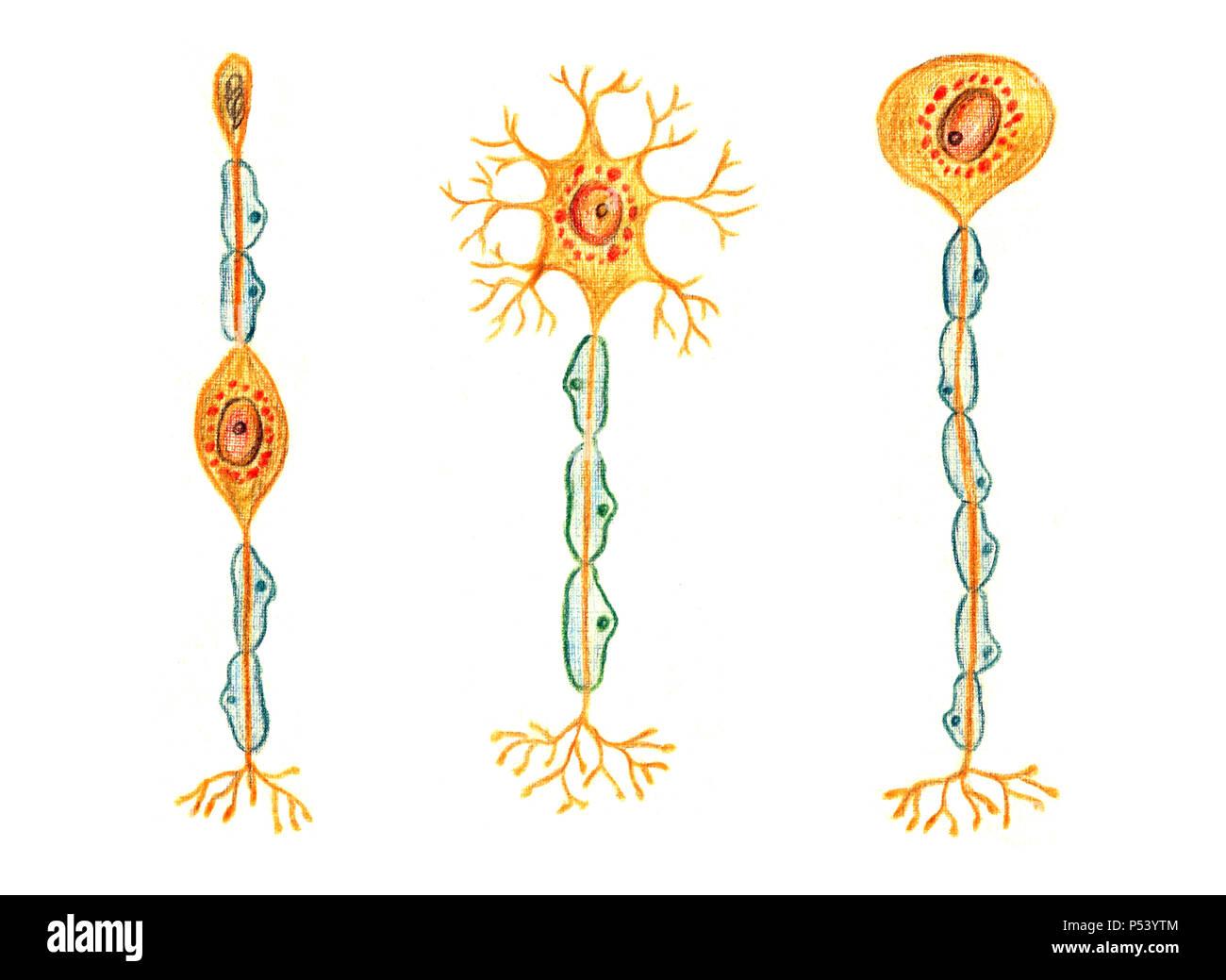 Différents types de neurones: neurone bipolaire, unipolaire neurone multipolaire, neurone, hand drawn illustration médicale, crayons de couleur dessin avec l'imitation Photo Stock