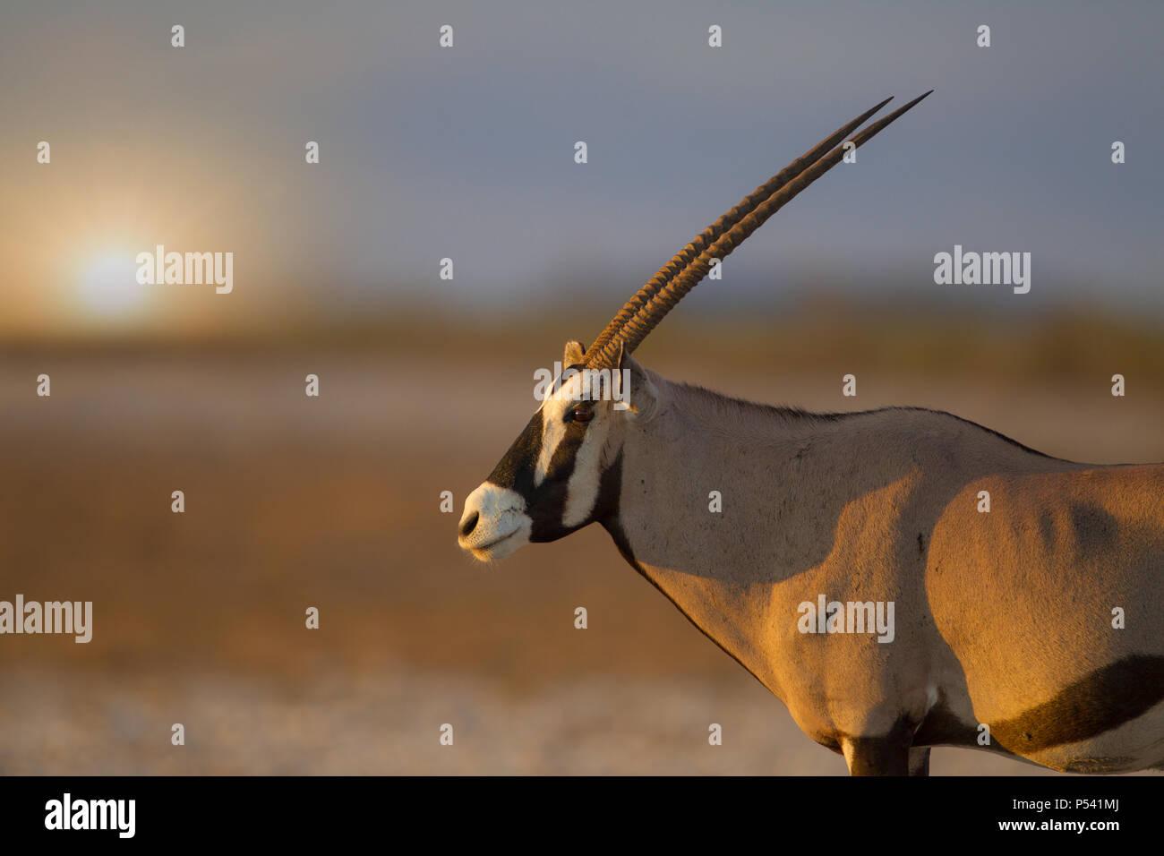 Au coucher du soleil dans le parc d'Etosha Oryx Photo Stock