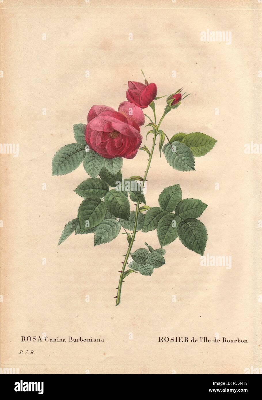 Bourbon rose, avec de grandes fleurs rose pourpre et burbonia (rosa ...