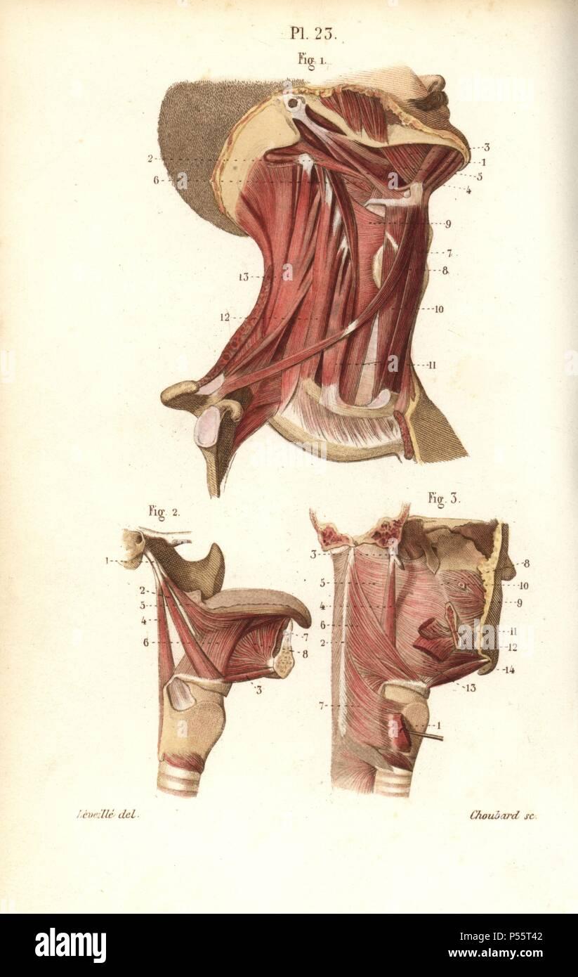 Muscles Du Cou De La Langue Et De La Gorge Gravure