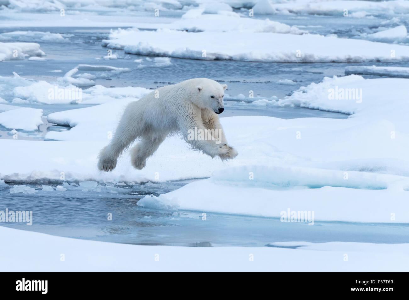 Le saut de l'ours polaire entre des blocs de glace Photo Stock