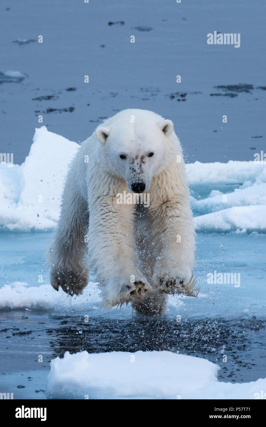 L'ours polaire sautant au-dessus de l'eau Photo Stock
