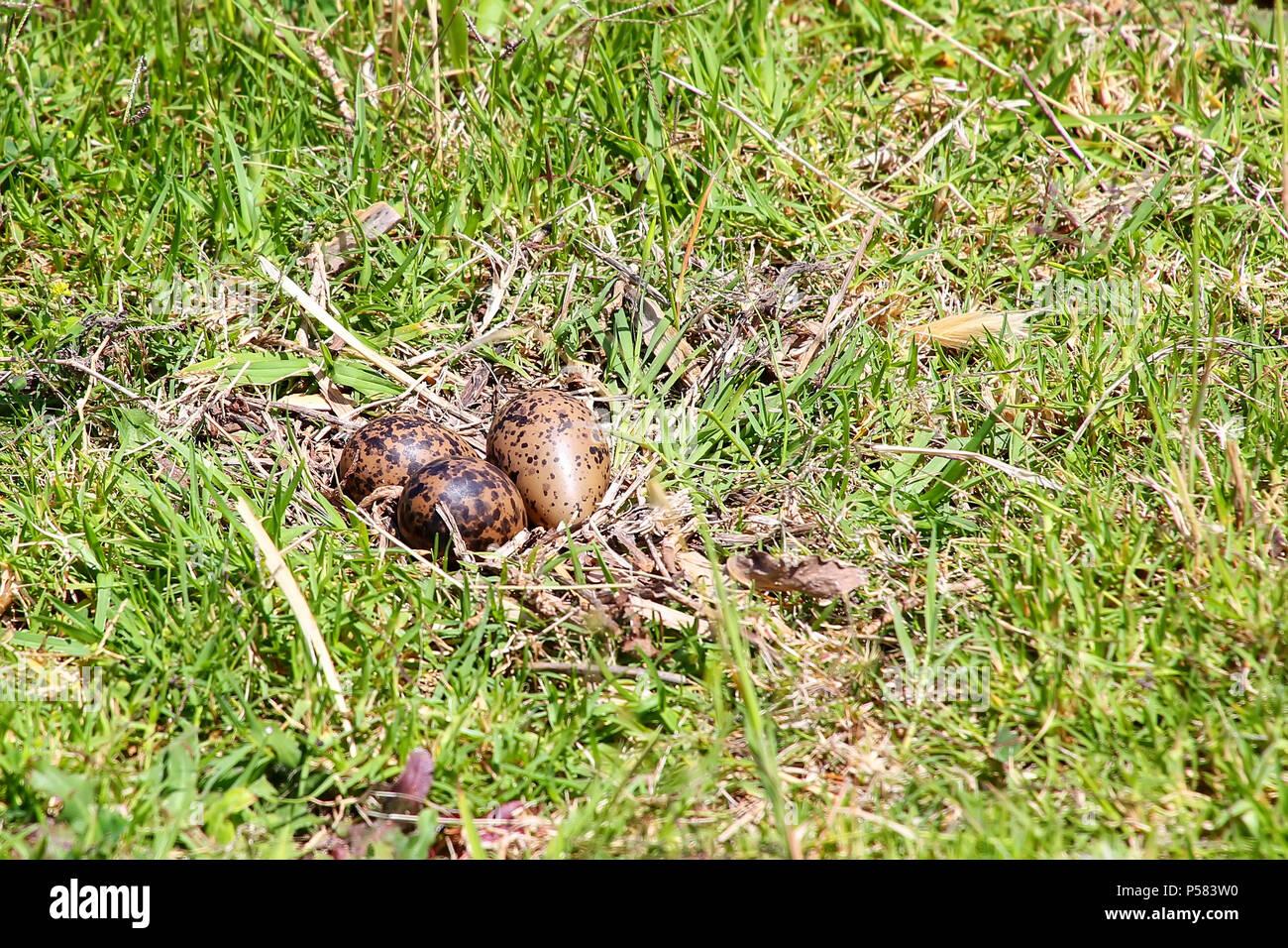 Masse d'oeufs du sud de sociable (vanellus chilensis) sur la rive de la rivière de la plaque à Montevideo, Uruguay. Cet oiseau est l'oiseau national de l'Uruguay. Photo Stock