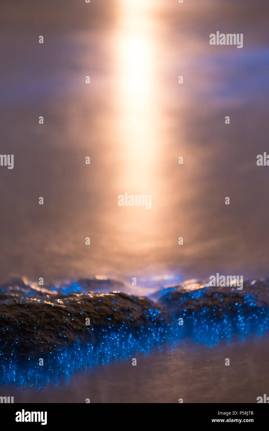 La Bioluminescence bleu close up on rock Banque D'Images