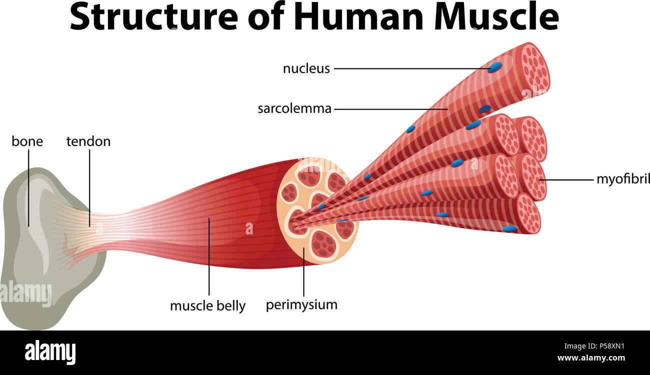 Une structure de muscle humain illustration Photo Stock