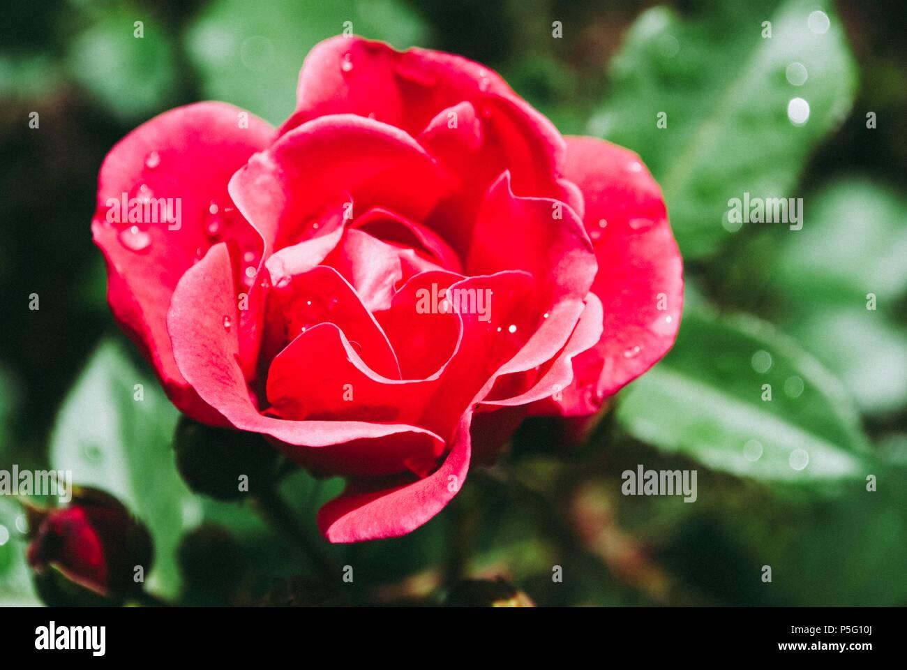 Jardin De Ville Rose Rouge Fleur Avec Gouttes D Eau Sur Fond D Herbe