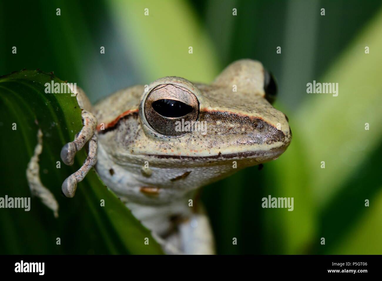 Une grenouille d'arbre pose pour la caméra dans les jardins. Photo Stock