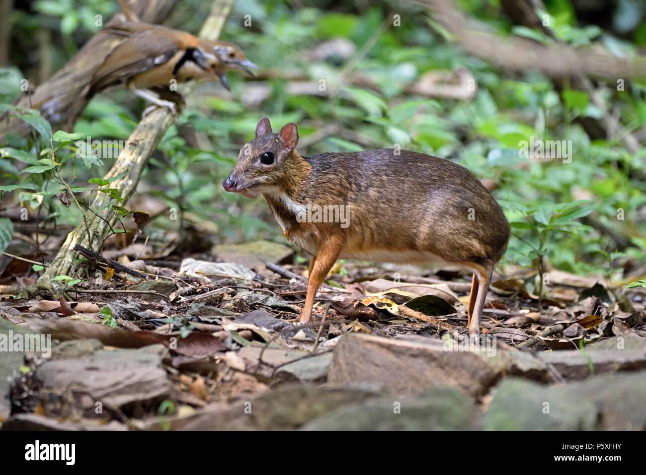 Une timide petite souris Deer (Tragulus kanchil) sur le sol de la forêt dans l'ouest de la Thaïlande à Kaeng Krachan Banque D'Images