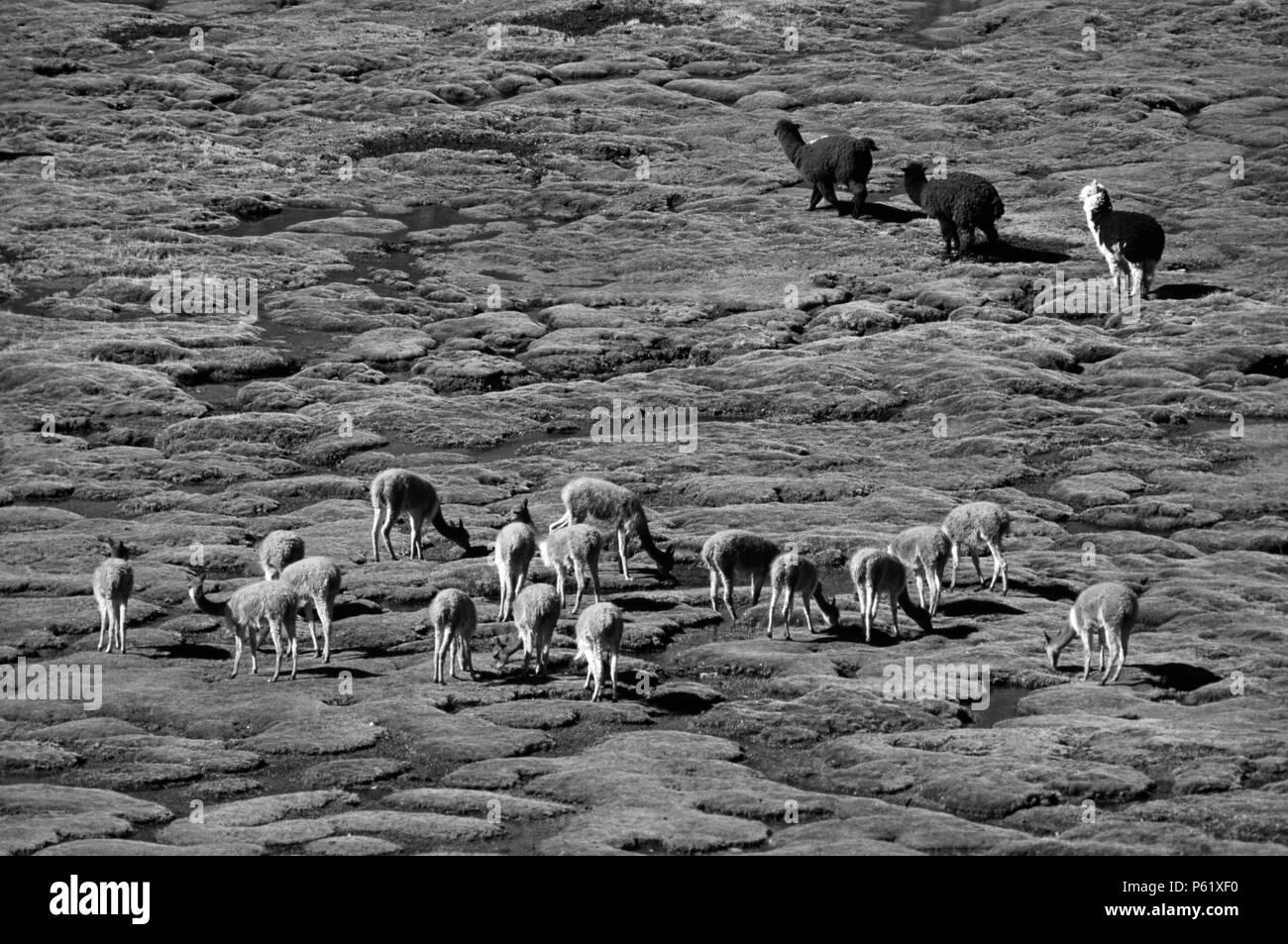 Un troupeau d'Alpaga & VICUNYA sauvages brouter sur les bofedales (prairies marécageuses) du parc national de Lauca, CHILI Photo Stock