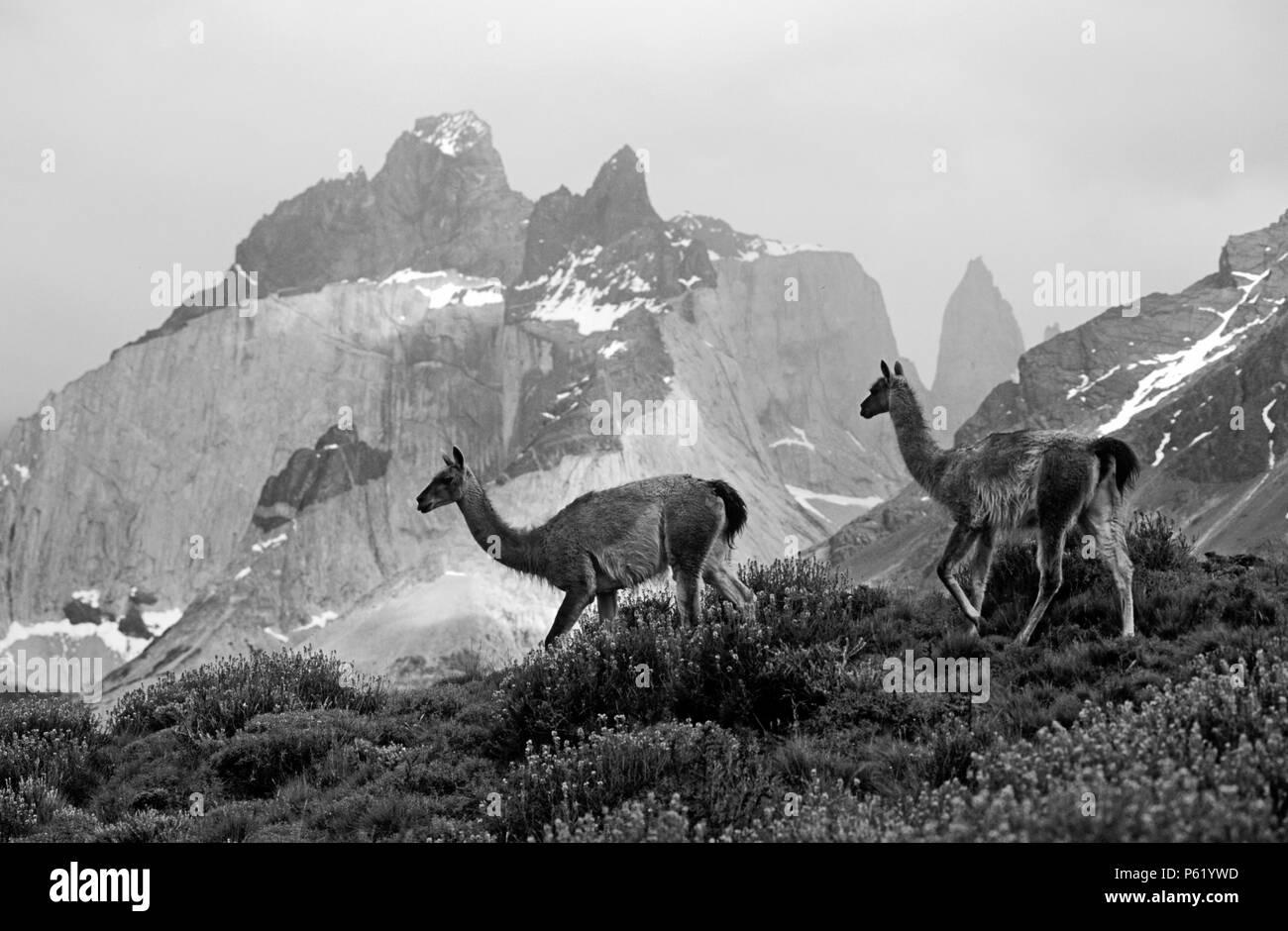 Troupeau de guanacos (Lama guanicoe) DANS LE PARC NATIONAL DES TORRES DEL PAINE avec ANDES PEAK derrière - Patagonie, CHILI Banque D'Images