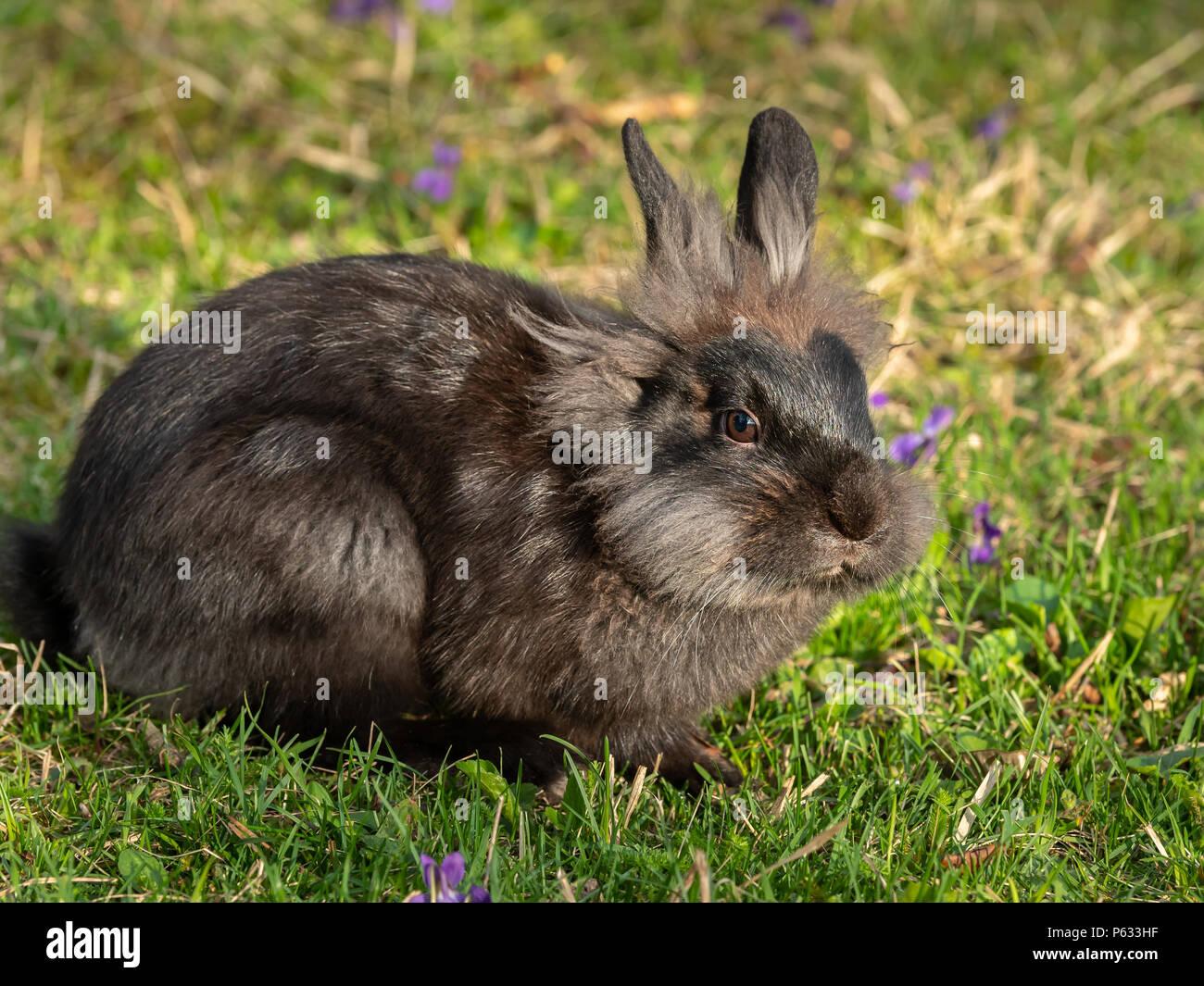 Un jeune lapin nain brun (lions head) assis dans l'herbe Banque D'Images