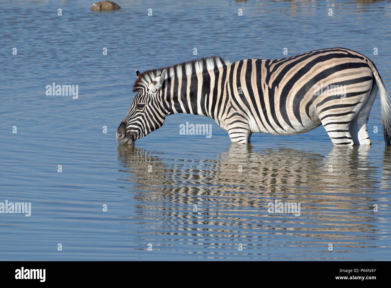 Le zèbre de Burchell (Equus quagga burchellii), debout dans l'eau, boire, point d'Okaukuejo, Etosha National Park, Namibie, Afrique Photo Stock