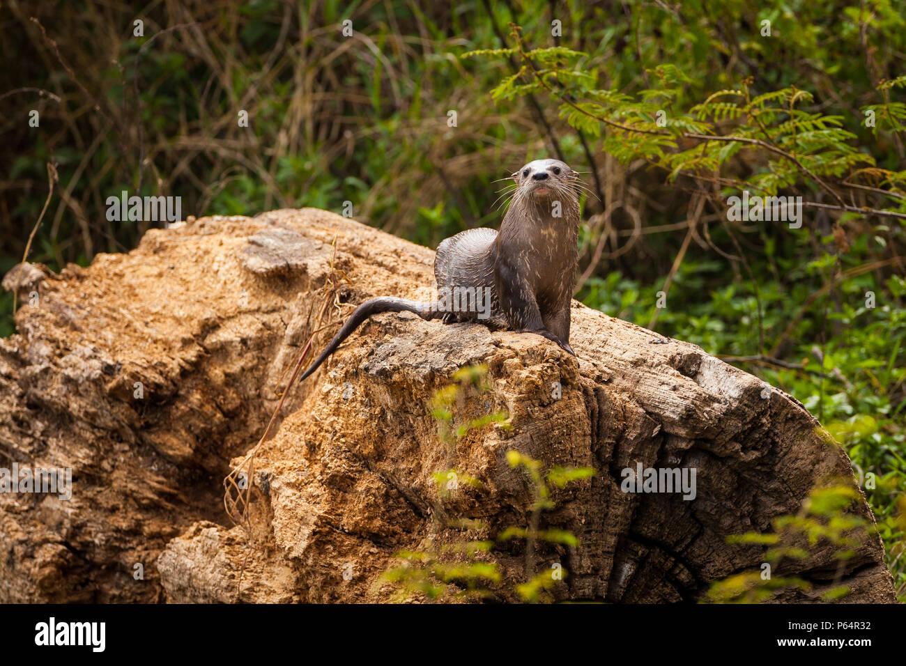 La loutre néotropicale, sci.name; Lontra longicaudis, au bord de lac de lac Bayano, province de Panama, République du Panama. Banque D'Images