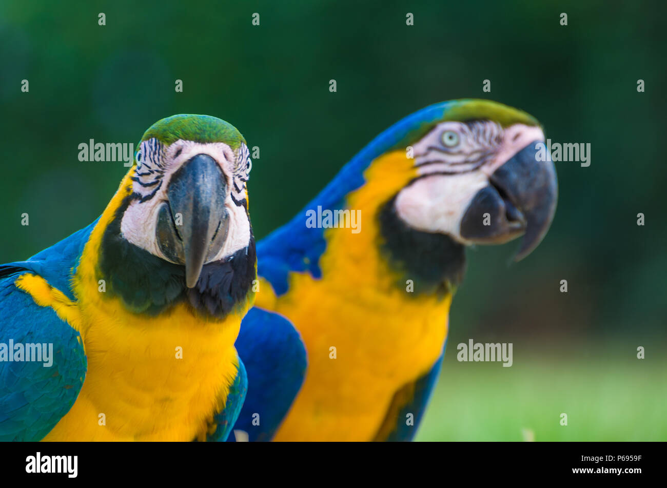 Beau bleu-et-jaune Macaw (Ara ararauna) dans le brésilien zone humide. Photo Stock