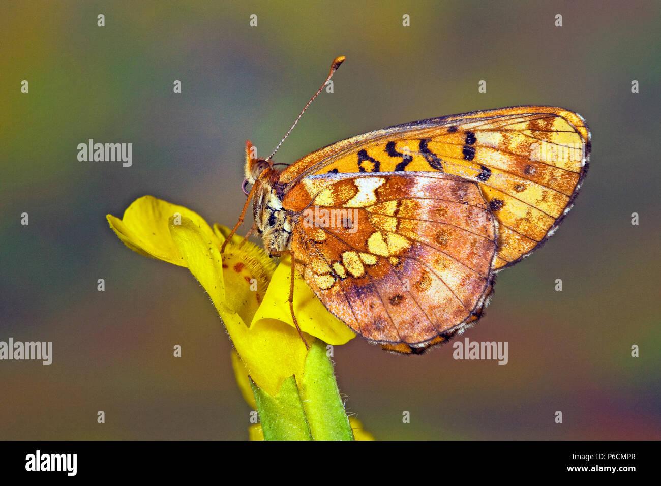 Vue ventrale d'une prairie de l'ouest, papillon fritilllary Boloria epithore, le long de la rivière d'automne dans les montagnes Cascades du centre de l'Oregon. Banque D'Images