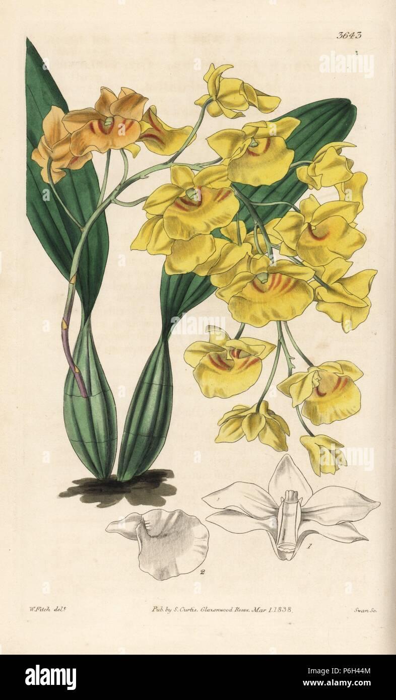 Orchidee Dendrobium Lindleyi Orchidee Dendrobium Fleur