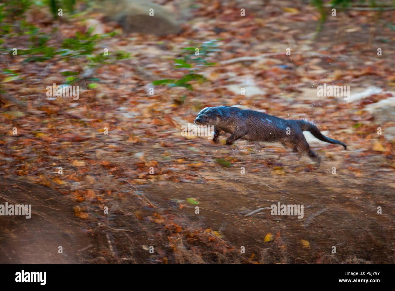 La loutre néotropicale, Lontra longicaudis, longeant une rivière de la province de Cocle, République du Panama. Banque D'Images