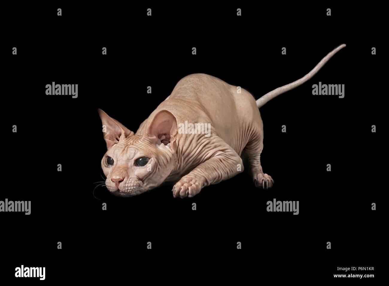 Sphynx chat sur la chasse au phoque - isolé sur fond noir. Photo Stock