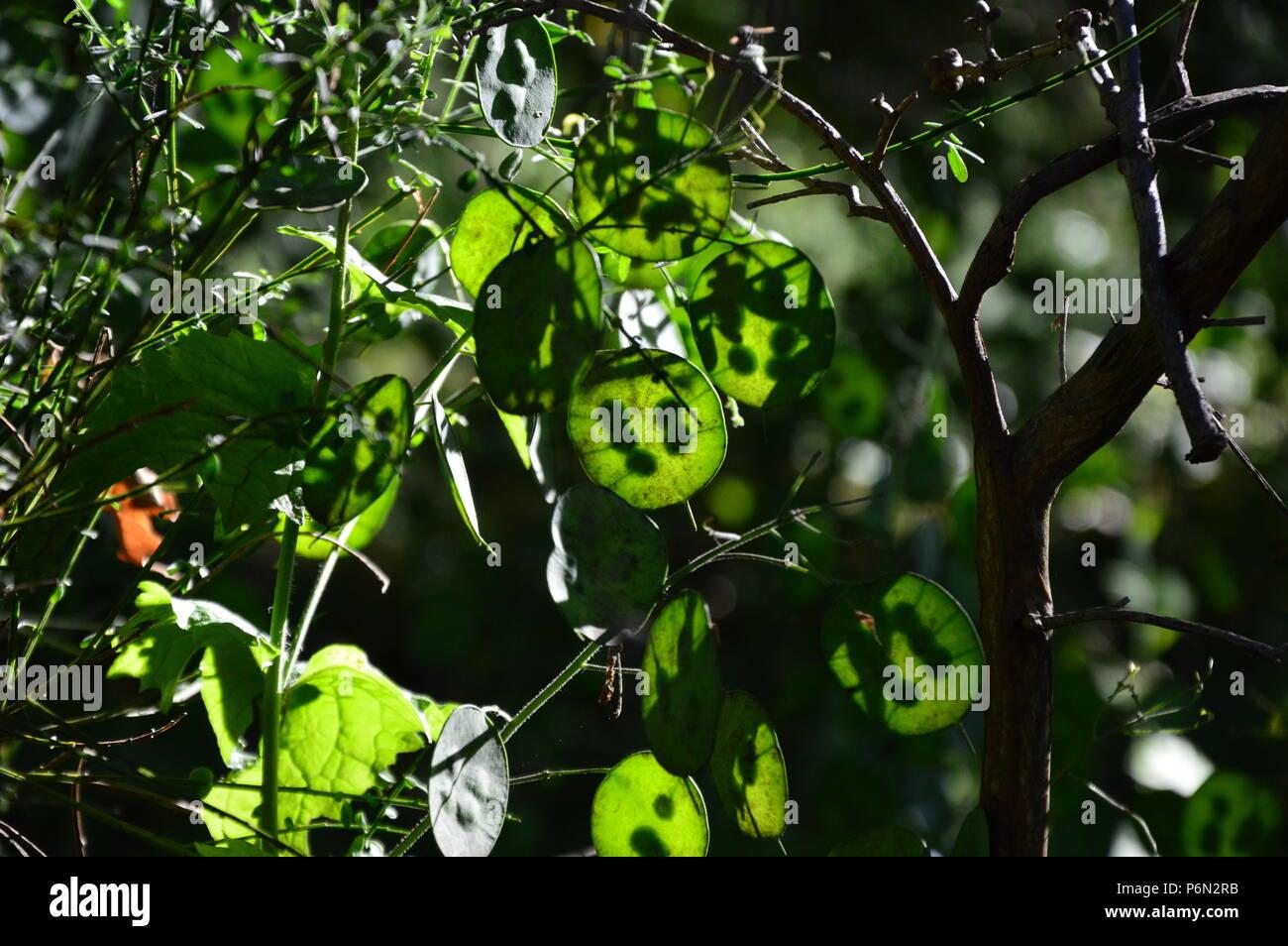 Zoom sur une plante verte Lunaria dans le jardin Photo Stock