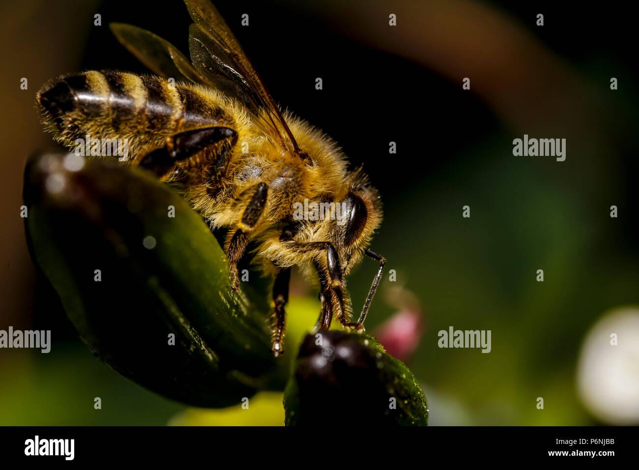 macro abeille miel Banque D'Images