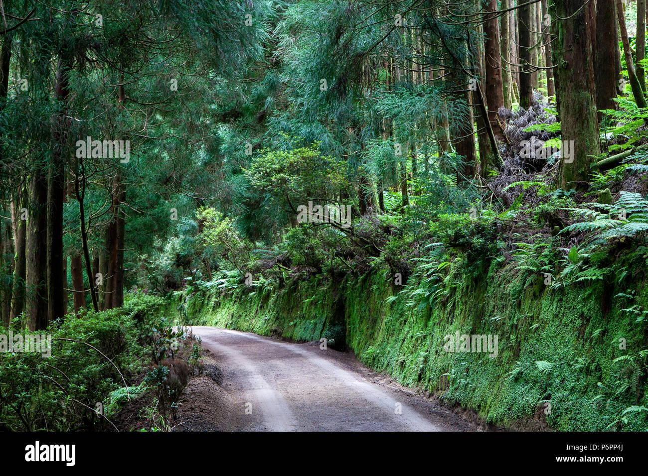 Chemin à travers la forêt sur l'île de São Miguel, Açores, Portugal Photo Stock