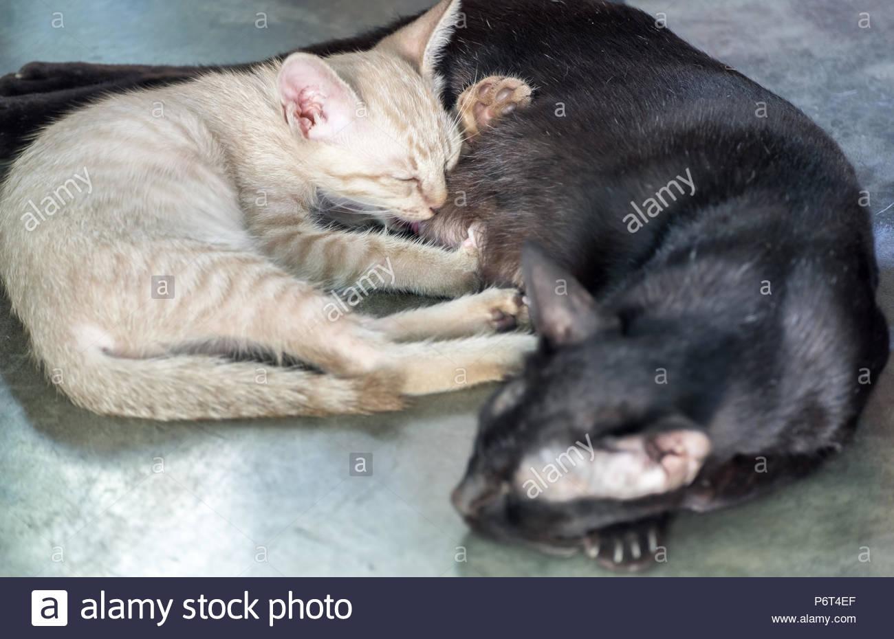Peu de blanc chaton mignon câlin maman chat noir