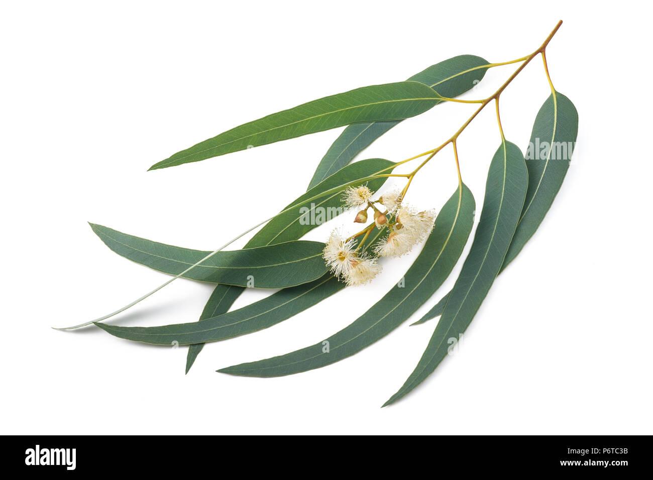 branche d'eucalyptus avec des fleurs isolated on white banque d
