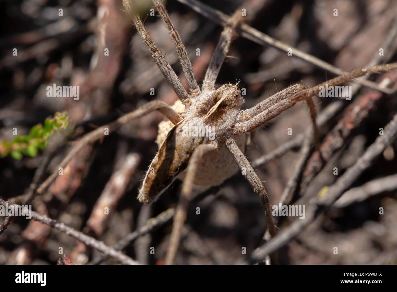 Photo en gros plan des femelles adultes de Spider web pépinière avec un cocon accroché au-dessous de son corps. Trouvé sur heath canford réserve naturelle, Poole. Photo Stock