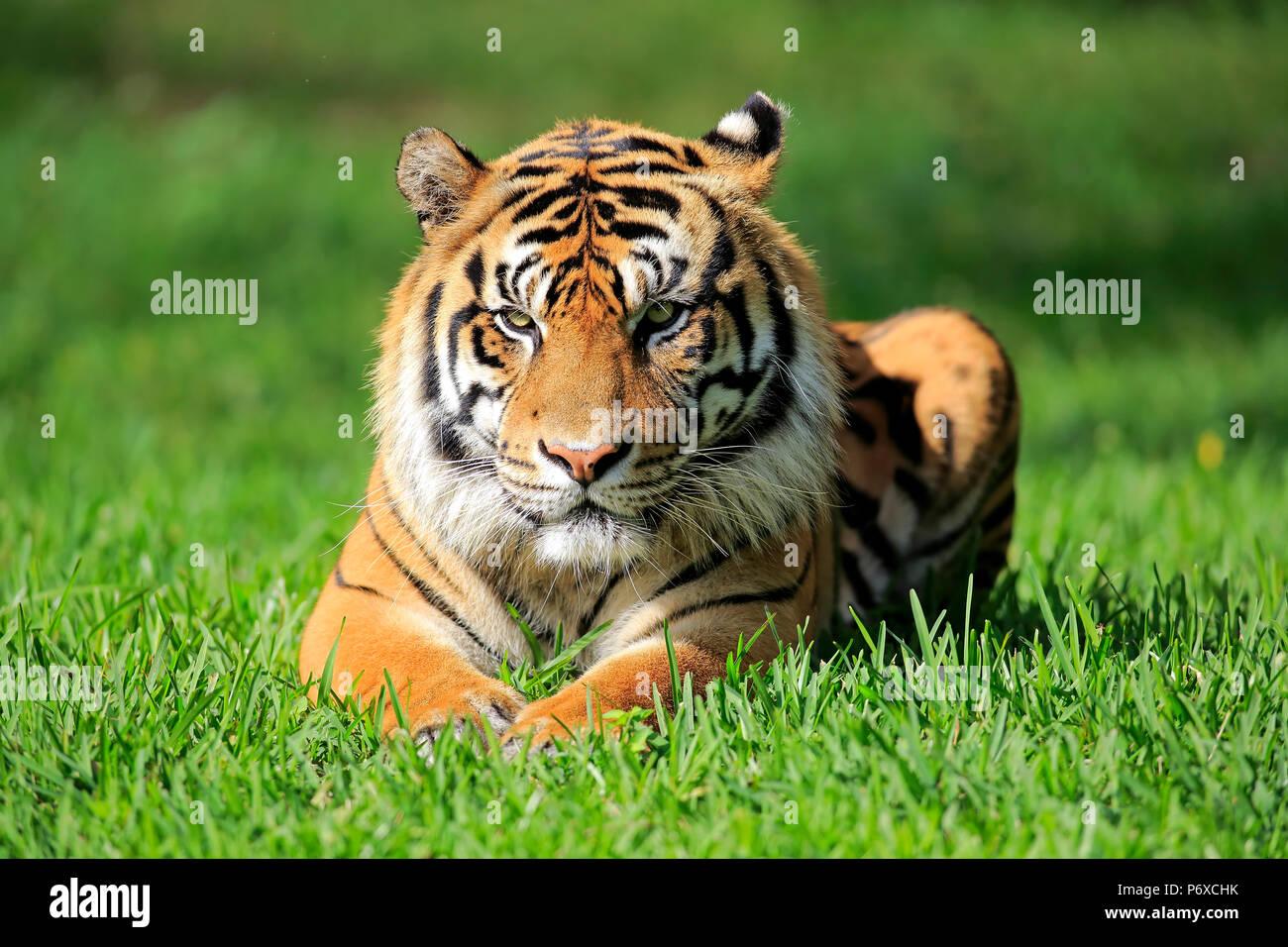 Tigre de Sumatra, mâle adulte, Sumatra, d'Asie, Panthera tigris sumatrae Photo Stock