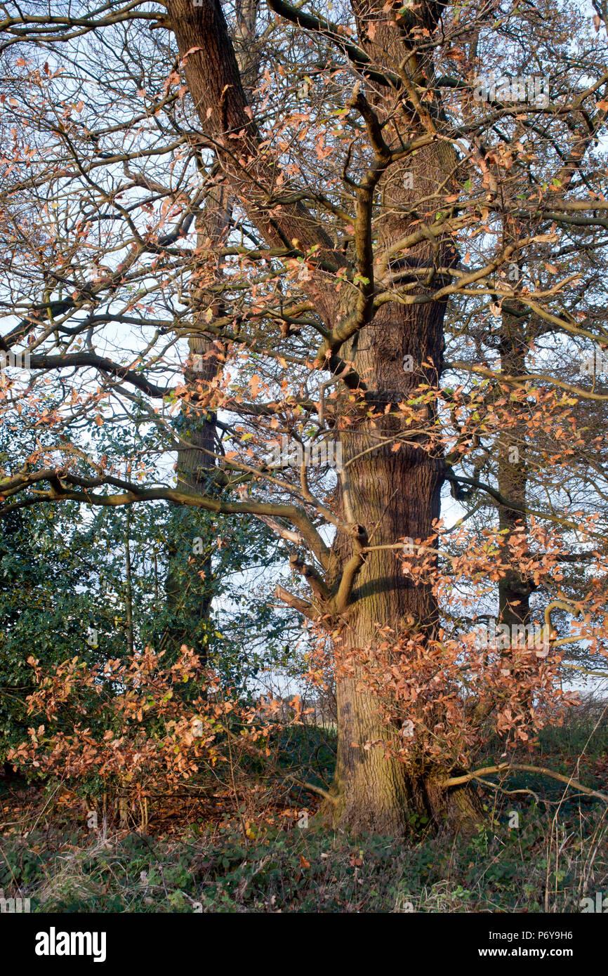 Chêne mature et de bois, à la fin de l'automne au début de l'hiver. Banque D'Images