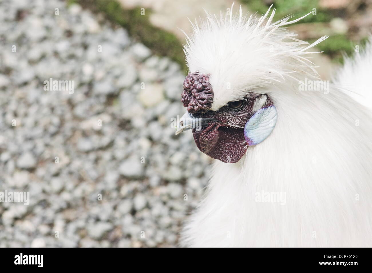 Close up image d'un Poulet Silkie with copy space Photo Stock