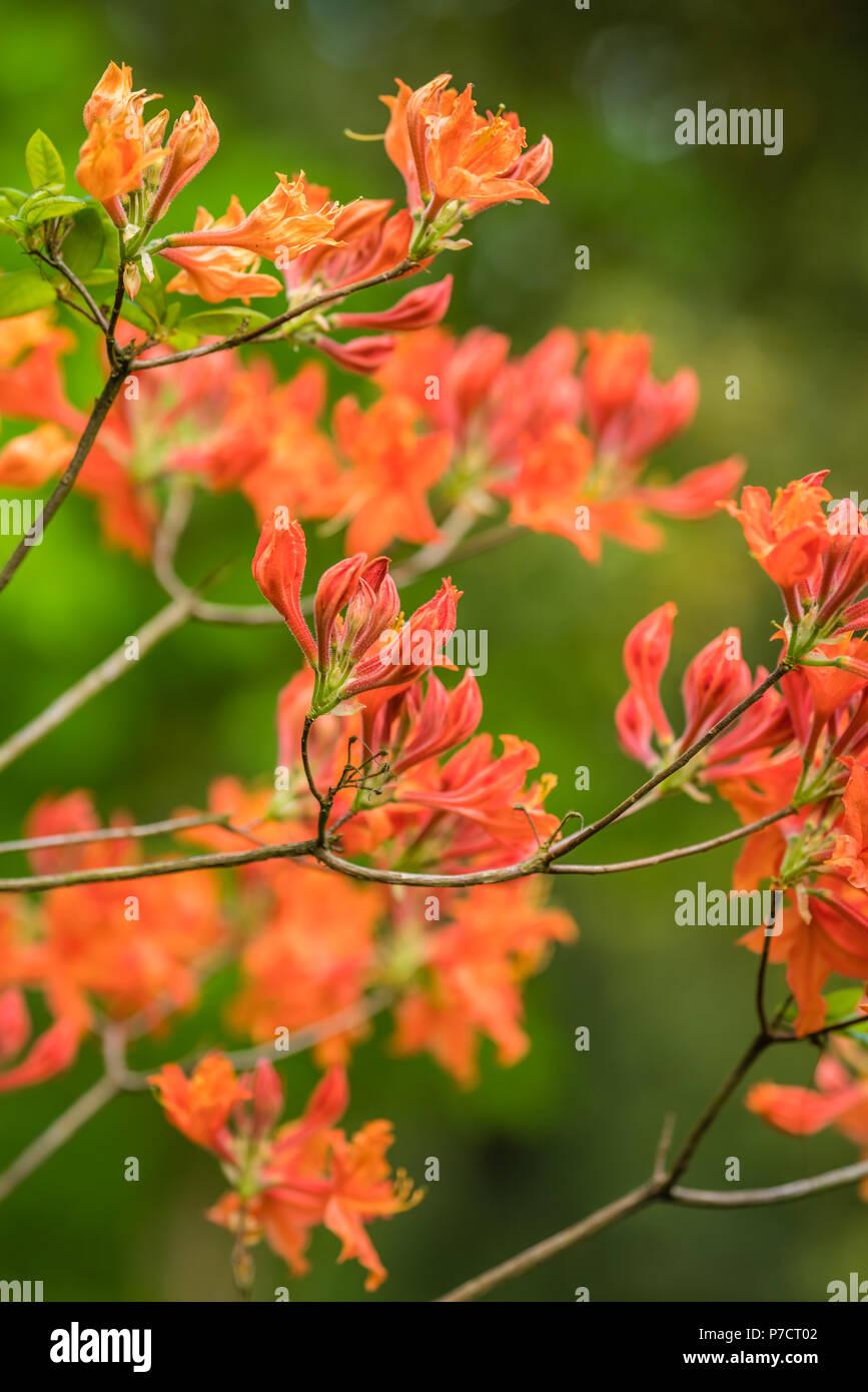 Azalea fleurs rouge et orange sur les branches d\u0027un arbre au printemps en  fleurs