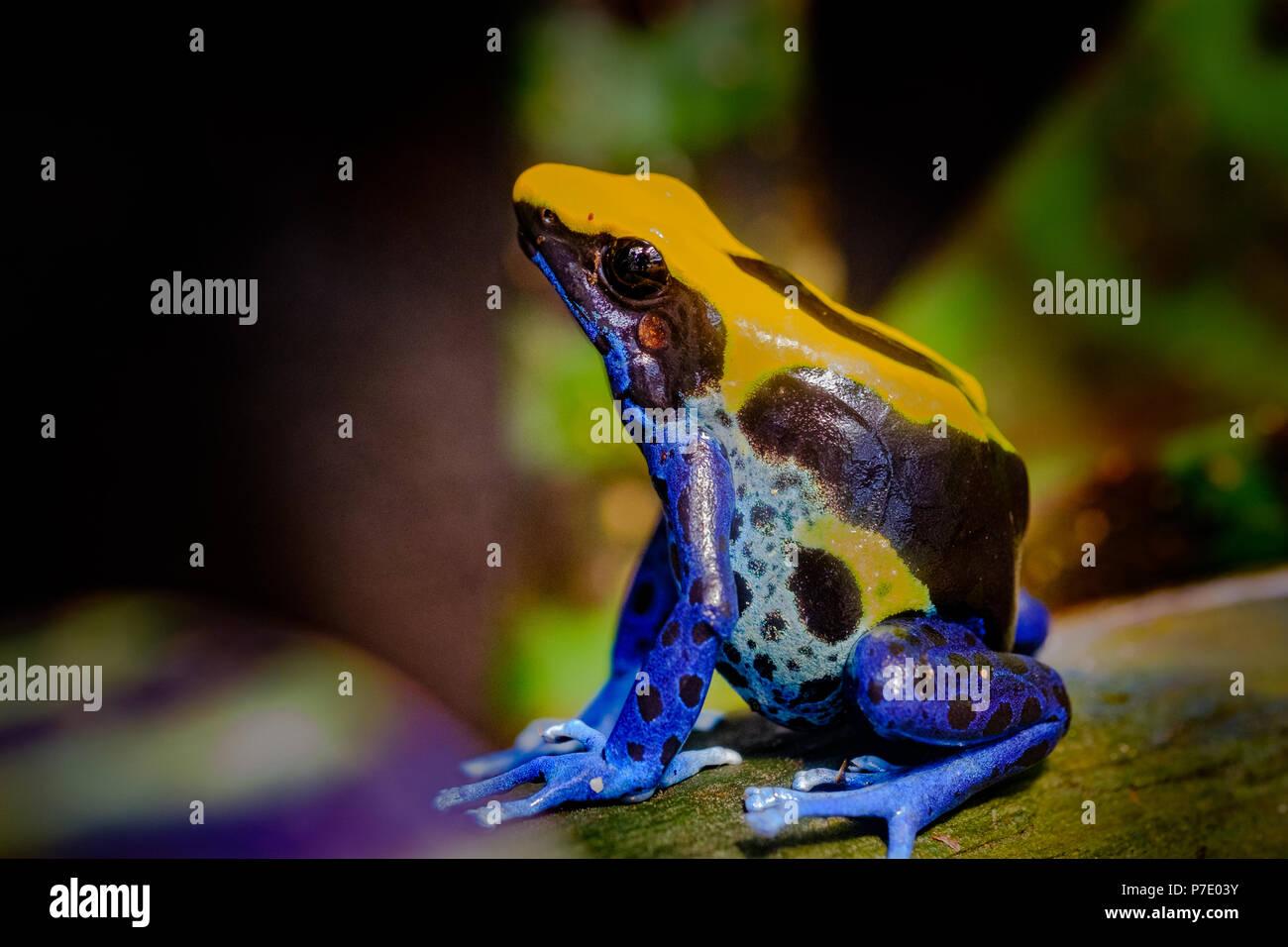 La teinture dart frog, tinc (surnom donné par ceux dans le passe-temps de garder les grenouilles dart), ou la teinture (Dendrobates tinctorius grenouille poison) est une espèce Photo Stock